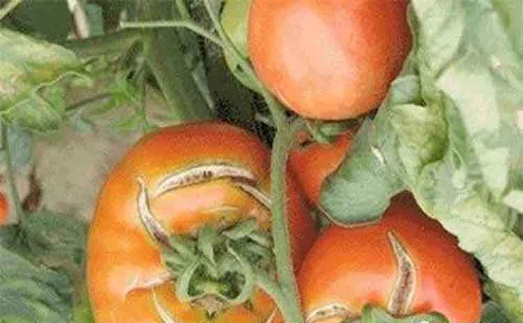 西红柿如何防止畸形裂果?请看蔬菜专家的详解!-寿光红旗科技有限公司