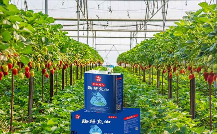 草莓使用什么水溶肥好?草莓如何施肥才能够增产增收?-寿光红旗科技有限公司